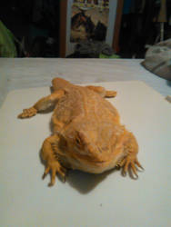 my bearded dragon Ace by countrygirllover
