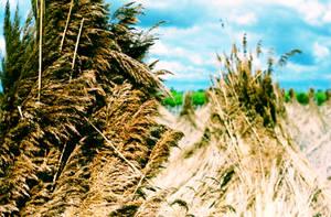 Reed by N1cn4c