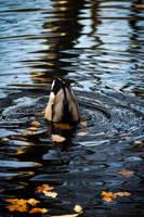 Dabbling Duck by N1cn4c