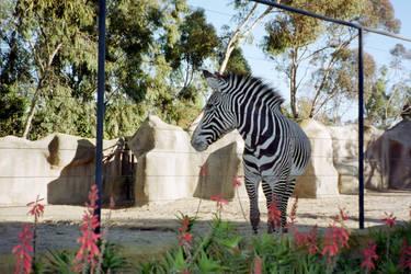 Zebra by Superly