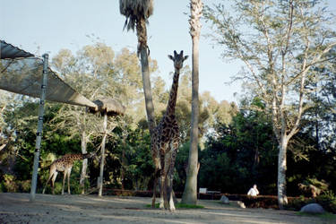 Girafe by Superly