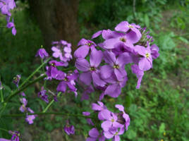 Hesperis matronalis by Abrimaal