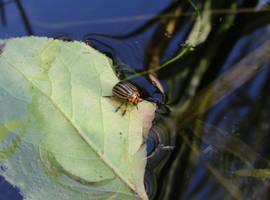 Leptinotarsa decemlineata ready to swim. by Abrimaal