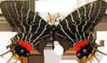 Dark-butterfly7-150px by EXOstock
