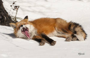 Fox Yawn by Les-Piccolo