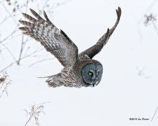 Great Gray Owl 3 by Les-Piccolo