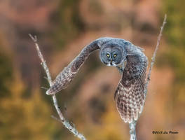 Great Gray Owl 6 by Les-Piccolo