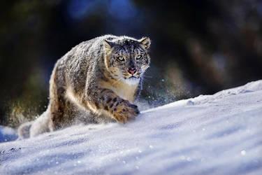Snow Leopard by catman-suha