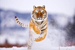 Siberian Tiger 2 by catman-suha