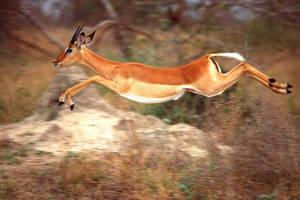 Impala 1 by catman-suha