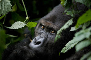 Lowland Gorilla by catman-suha