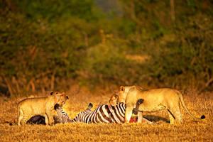 Lion 2 by catman-suha