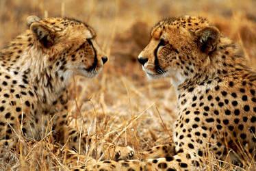 Cheetah 7 by catman-suha