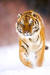 siberian Tiger 9 by catman-suha