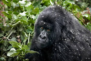 Mountain Gorilla 8 by catman-suha