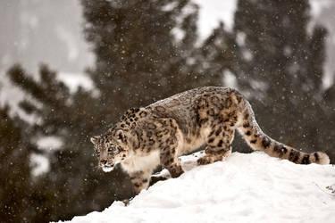 kar ve leopar by catman-suha