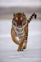Siberian Tiger 11 by catman-suha