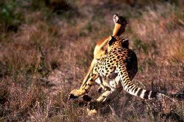 Cheetah 9 by catman-suha