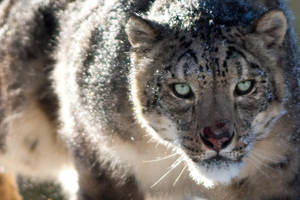 Snow Leopard 8 by catman-suha
