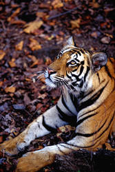 Bengal Tiger 3 by catman-suha