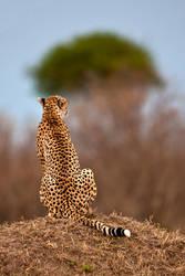 Cheetah 10 by catman-suha