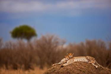 Cheetah 11 by catman-suha