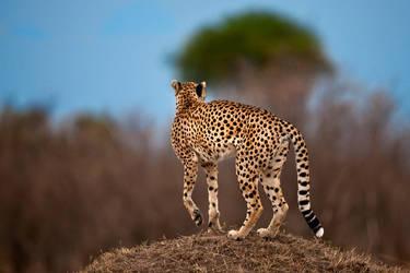 Cheetah 12 by catman-suha
