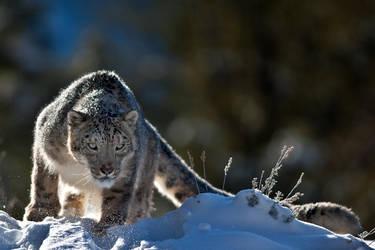 Snow Leopard 9 by catman-suha