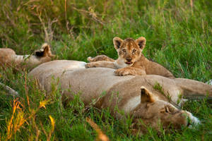 African Lion 34 by catman-suha