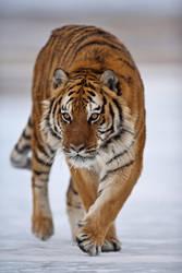 Siberian Tiger 15 by catman-suha
