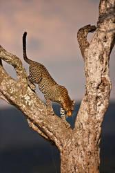Leopard 26 by catman-suha