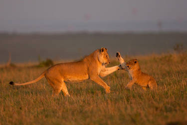 African Lion 53 by catman-suha