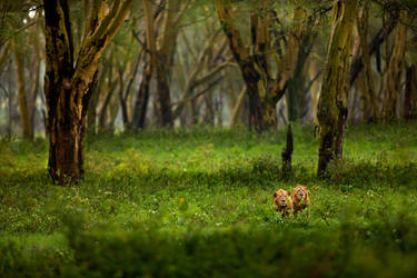 African Lion 78 by catman-suha