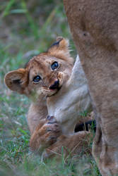 African Lion 83 by catman-suha