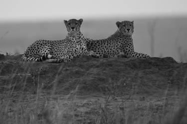 Cheetah 52 by catman-suha