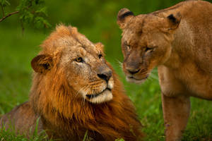 African Lion 84 by catman-suha