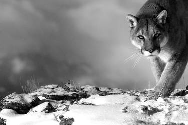 Puma concolor 26 by catman-suha