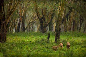 African Lion 107 by catman-suha
