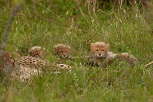 Cheetah 56 by catman-suha