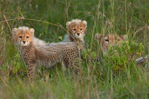 Cheetah 58 by catman-suha