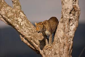 Leopard 43 by catman-suha