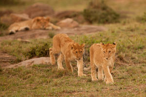 African Lion 111 by catman-suha