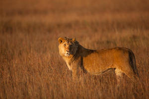 African Lion 112 by catman-suha