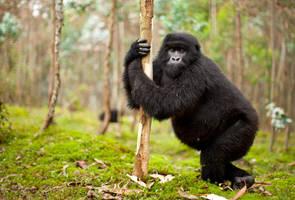 Mountain Gorilla 17 by catman-suha