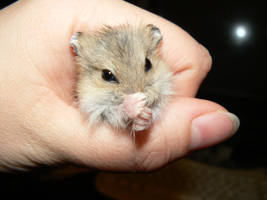 Grey Baby Hamster 3 by ShadedRain