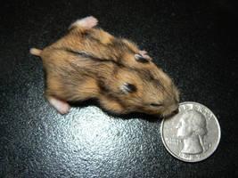 2 Grey Baby Hamster 2 by ShadedRain
