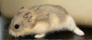 Mini Dwarf Hamster 4 by ShadedRain