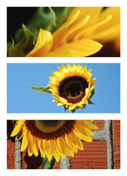 The Many Sides of a Sunflower by spamboi