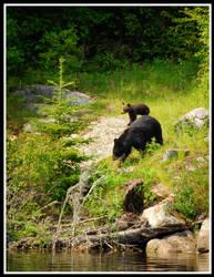 Bears by xedgerx