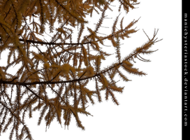 Larch Tree Autumn Foliage Cut Out by ManicHysteriaStock